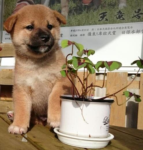 柴犬の子犬(ID:1243111001)の2枚目の写真/更新日:2018-09-13