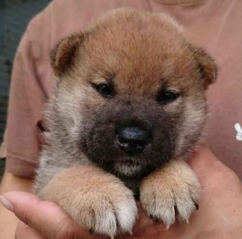 柴犬の子犬(ID:1243111001)の3枚目の写真/更新日:2018-09-13