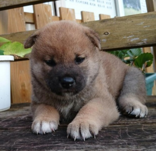 柴犬の子犬(ID:1243111001)の4枚目の写真/更新日:2018-09-13