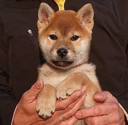 柴犬の子犬(ID:1243111002)の1枚目の写真/更新日:2018-09-13