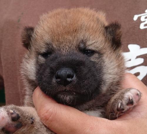 柴犬の子犬(ID:1243111040)の1枚目の写真/更新日:2018-08-24