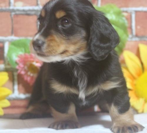 ミニチュアダックスフンド(ロング)の子犬(ID:1243411093)の2枚目の写真/更新日:2018-05-16