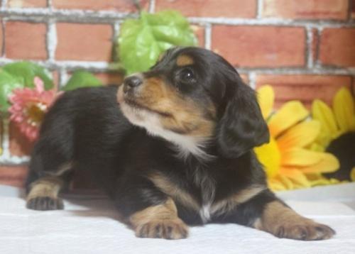 ミニチュアダックスフンド(ロング)の子犬(ID:1243411093)の3枚目の写真/更新日:2018-05-16