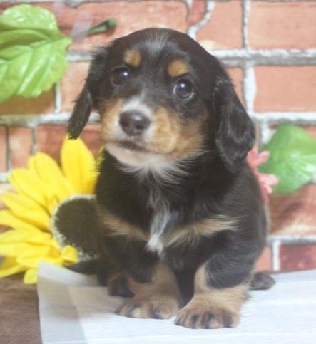 ミニチュアダックスフンド(ロング)の子犬(ID:1243411093)の4枚目の写真/更新日:2018-05-16