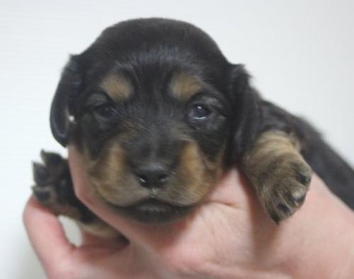 ミニチュアダックスフンド(ロング)の子犬(ID:1243411097)の1枚目の写真/更新日:2018-03-11