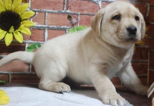 ラブラドールレトリバーの子犬(ID:1243411098)の1枚目の写真/更新日:2018-03-09