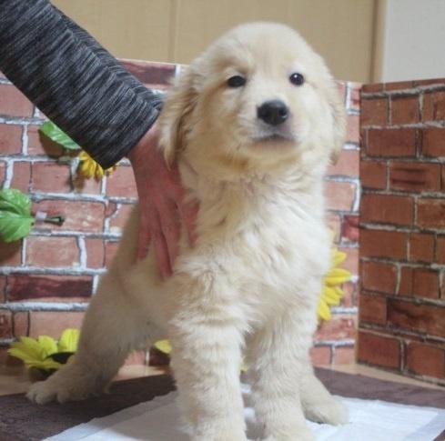 ゴールデンレトリバーの子犬(ID:1243411099)の1枚目の写真/更新日:2018-04-16