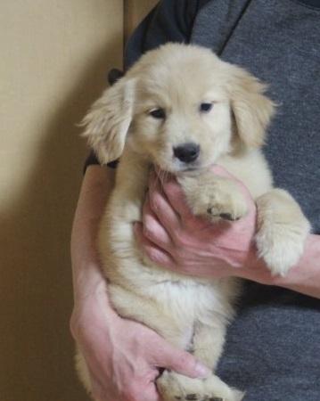 ゴールデンレトリバーの子犬(ID:1243411099)の2枚目の写真/更新日:2018-04-16