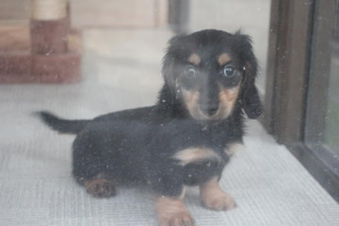 ミニチュアダックスフンド(ロング)の子犬(ID:1243411101)の1枚目の写真/更新日:2018-04-16