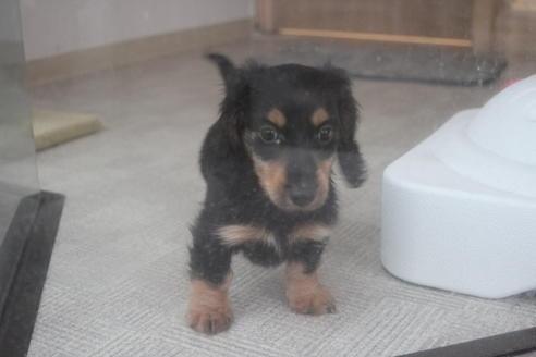 ミニチュアダックスフンド(ロング)の子犬(ID:1243411101)の2枚目の写真/更新日:2018-04-16