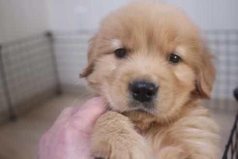 ゴールデンレトリバーの子犬(ID:1243411102)の1枚目の写真/更新日:2018-04-27