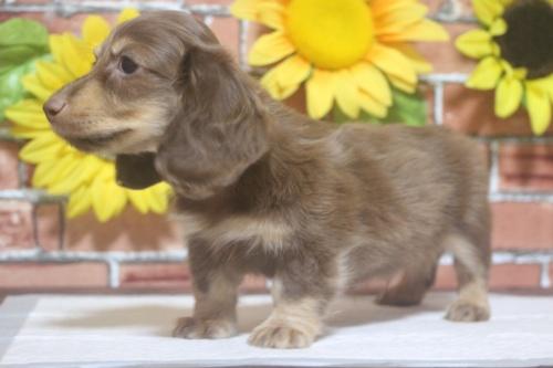 ミニチュアダックスフンド(ロング)の子犬(ID:1243411103)の1枚目の写真/更新日:2018-05-25