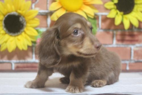 ミニチュアダックスフンド(ロング)の子犬(ID:1243411103)の2枚目の写真/更新日:2018-05-25