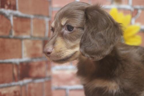 ミニチュアダックスフンド(ロング)の子犬(ID:1243411103)の4枚目の写真/更新日:2018-05-25