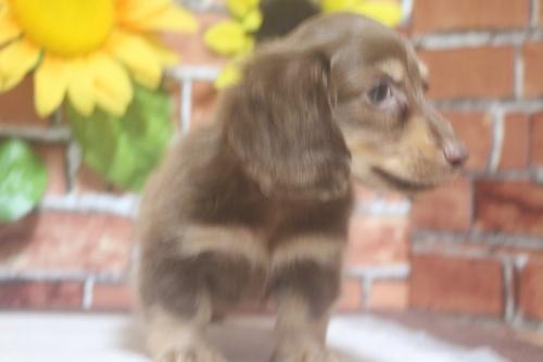 ミニチュアダックスフンド(ロング)の子犬(ID:1243411103)の5枚目の写真/更新日:2018-05-25