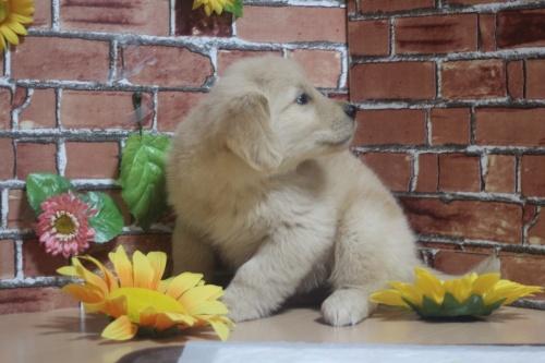 ゴールデンレトリバーの子犬(ID:1243411104)の1枚目の写真/更新日:2018-05-28