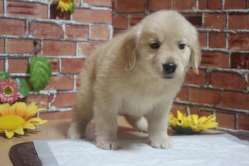 ゴールデンレトリバーの子犬(ID:1243411104)の2枚目の写真/更新日:2018-05-28