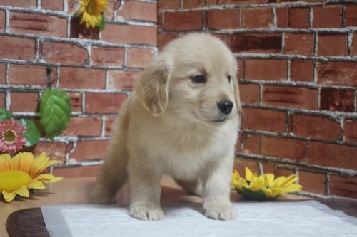 ゴールデンレトリバーの子犬(ID:1243411104)の3枚目の写真/更新日:2018-05-28