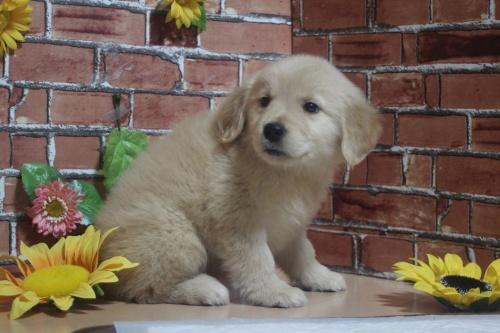 ゴールデンレトリバーの子犬(ID:1243411104)の4枚目の写真/更新日:2018-05-28