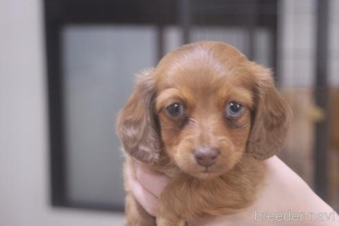 ミニチュアダックスフンド(ロング)の子犬(ID:1243411106)の1枚目の写真/更新日:2018-07-11