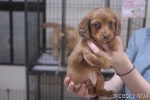 ミニチュアダックスフンド(ロング)の子犬(ID:1243411106)の2枚目の写真/更新日:2018-07-11