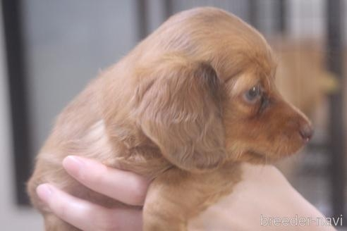 ミニチュアダックスフンド(ロング)の子犬(ID:1243411106)の3枚目の写真/更新日:2018-07-11