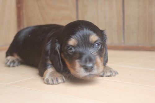 ミニチュアダックスフンド(ロング)の子犬(ID:1243411107)の2枚目の写真/更新日:2018-07-11