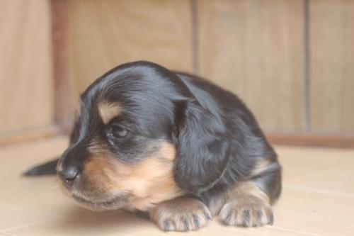 ミニチュアダックスフンド(ロング)の子犬(ID:1243411107)の3枚目の写真/更新日:2018-07-11