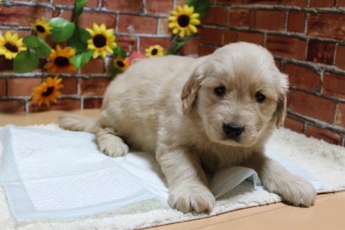 ゴールデンレトリバーの子犬(ID:1243411108)の2枚目の写真/更新日:2018-07-18