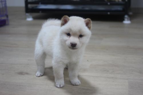 柴犬の子犬(ID:1243411109)の2枚目の写真/更新日:2018-12-13