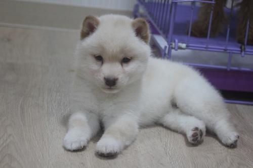 柴犬の子犬(ID:1243411109)の3枚目の写真/更新日:2018-12-13