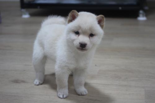 柴犬の子犬(ID:1243411109)の4枚目の写真/更新日:2018-12-13