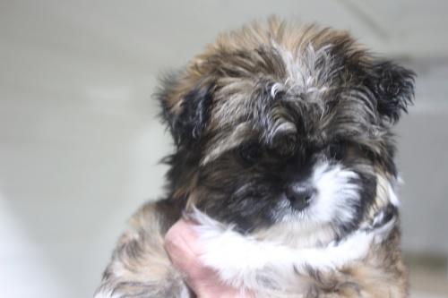 ミックスの子犬(ID:1243411110)の5枚目の写真/更新日:2019-01-12