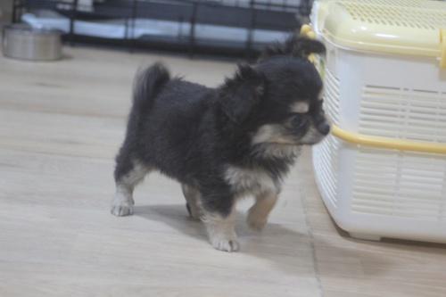 チワワ(ロング)の子犬(ID:1243411111)の2枚目の写真/更新日:2019-01-12