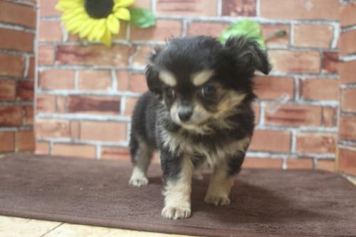 チワワ(ロング)の子犬(ID:1243411111)の4枚目の写真/更新日:2019-01-12