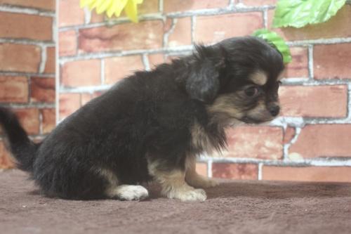 チワワ(ロング)の子犬(ID:1243411111)の5枚目の写真/更新日:2019-01-12