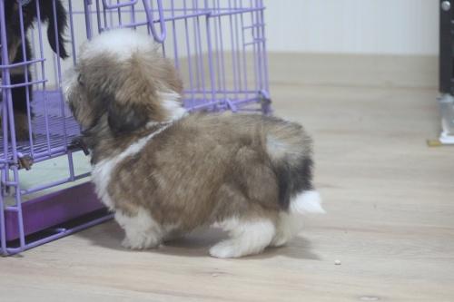 シーズーの子犬(ID:1243411112)の1枚目の写真/更新日:2019-01-12