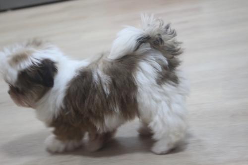 シーズーの子犬(ID:1243411113)の1枚目の写真/更新日:2019-01-12