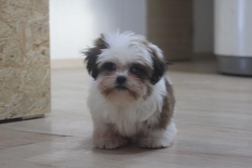 シーズーの子犬(ID:1243411113)の3枚目の写真/更新日:2019-01-12
