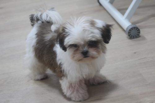 シーズーの子犬(ID:1243411113)の4枚目の写真/更新日:2019-01-12