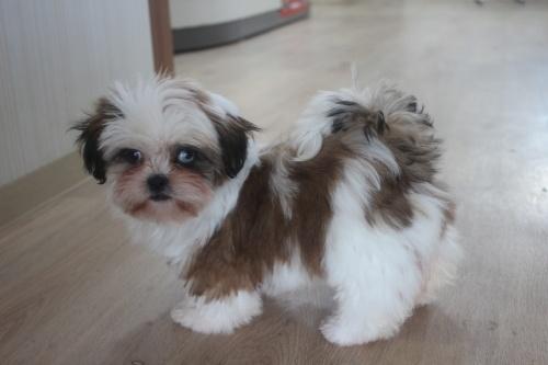 シーズーの子犬(ID:1243411113)の5枚目の写真/更新日:2019-01-12