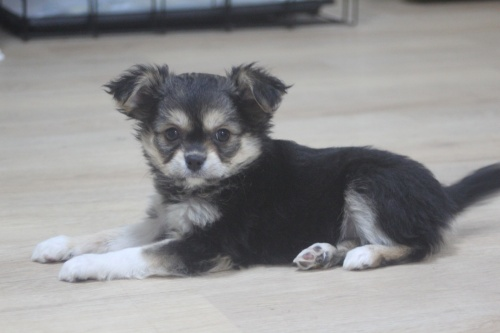 チワワ(ロング)の子犬(ID:1243411114)の1枚目の写真/更新日:2019-01-13