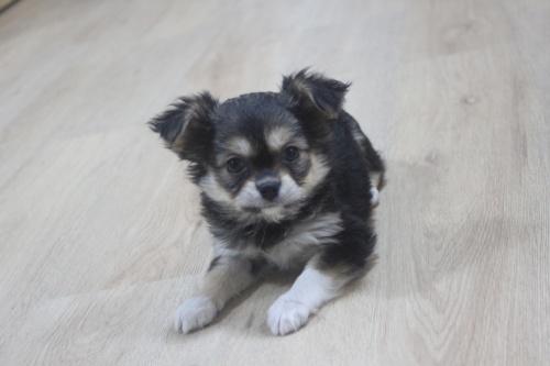 チワワ(ロング)の子犬(ID:1243411114)の2枚目の写真/更新日:2019-01-13