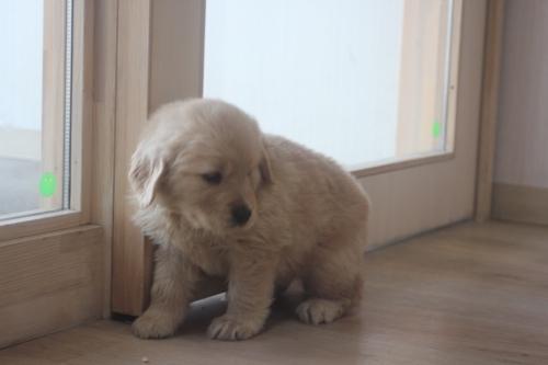 ゴールデンレトリバーの子犬(ID:1243411116)の1枚目の写真/更新日:2019-03-30
