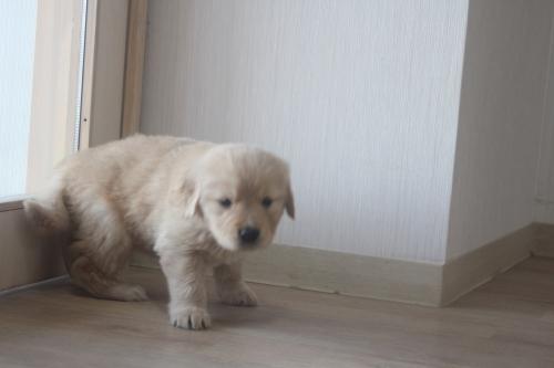 ゴールデンレトリバーの子犬(ID:1243411116)の3枚目の写真/更新日:2019-03-30