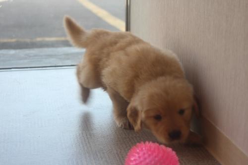ゴールデンレトリバーの子犬(ID:1243411116)の4枚目の写真/更新日:2019-03-30