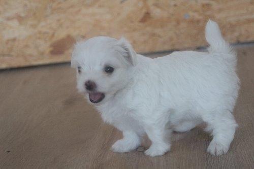 マルチーズの子犬(ID:1243411119)の2枚目の写真/更新日:2019-07-31