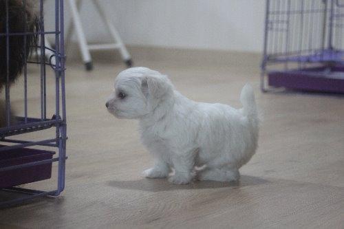 マルチーズの子犬(ID:1243411119)の3枚目の写真/更新日:2019-07-31