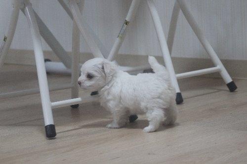 マルチーズの子犬(ID:1243411119)の4枚目の写真/更新日:2019-07-31