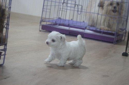 マルチーズの子犬(ID:1243411119)の5枚目の写真/更新日:2019-07-31